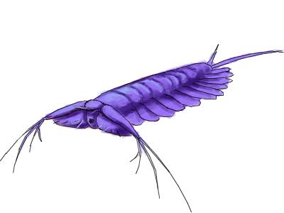 ケリグマケラ(Kerygmachela) ケリグマケラ 海綿動物  カンブリアモンスターとは