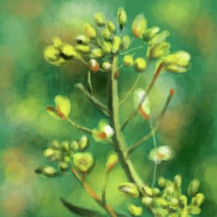 菜の花 by とぅこスレ#5