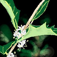 ヒイラギ葉と花/とりのははさん作